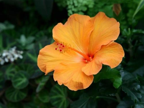 yellow-Tropical-Hibiscus-flowers04-3